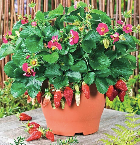 Strawberry Fruit Seeds (Pack of 200) - Ridaaz Home