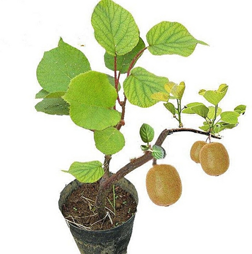 Kiwi Fruit Seeds (Pack of 100) - Ridaaz Home