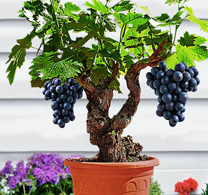 Grape Vine Fruit Seeds (Pack of 50) - Ridaaz Home