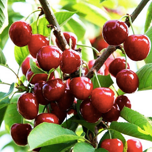 Cherry Fruit Seeds (Pack of 20) - Ridaaz Home
