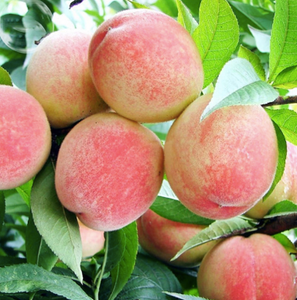 Peach Fruit Seeds (Pack of 20) - Ridaaz Home
