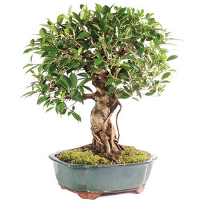 Golden Gate (Tiger Bark) Ficus (Indoor) (Pack of 50) - Ridaaz Home