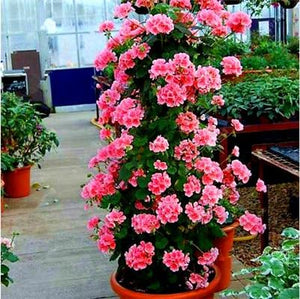 Geranium Tree Bonsai (Pack of 100) - Ridaaz Home