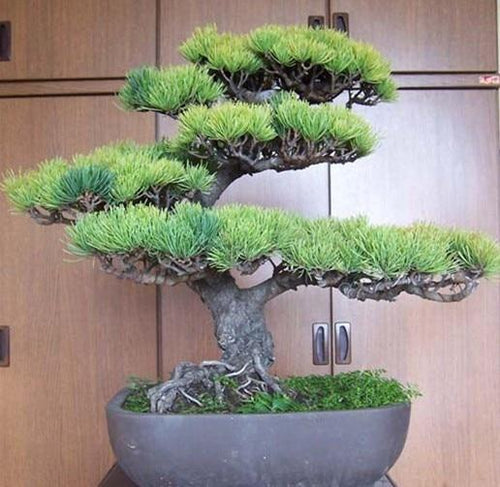 Pine Tree Bonsai Seeds (Pack of 50) - Ridaaz Home