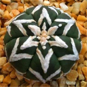 Lithops Succulents (Pack of 200) - Ridaaz Home