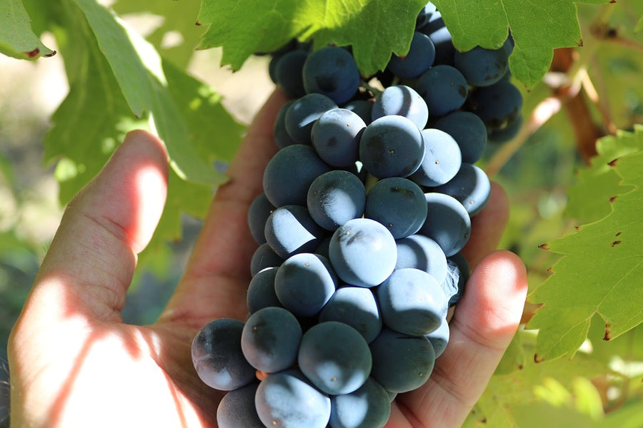 What is the Difference Between Shiraz and Syrah?