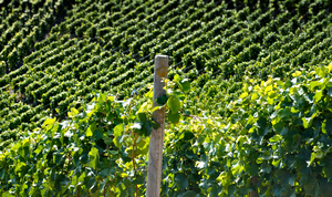 Vineyard with post