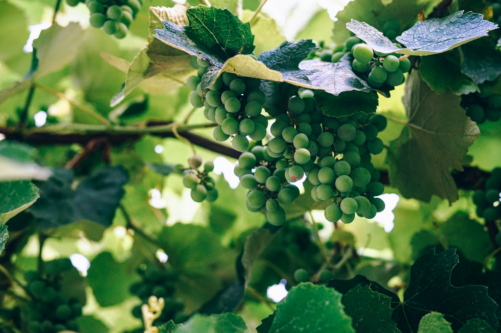 Riesling Grapes on a vine in Germany