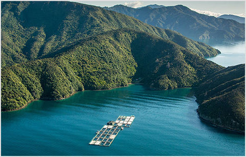 Ōra King salmon farms are isolated from disease, in the pristine waters of the Marlborough Sounds.