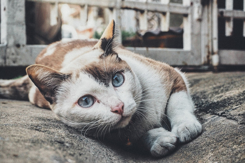 cat lying on the street