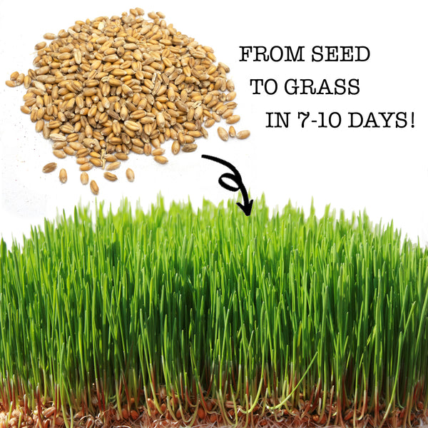 Non-GMO Wheat Seeds for Sprouting Fodder (Wheat Grass) -- Sustainably Grown In Missouri To Encourage Positive Behaviors