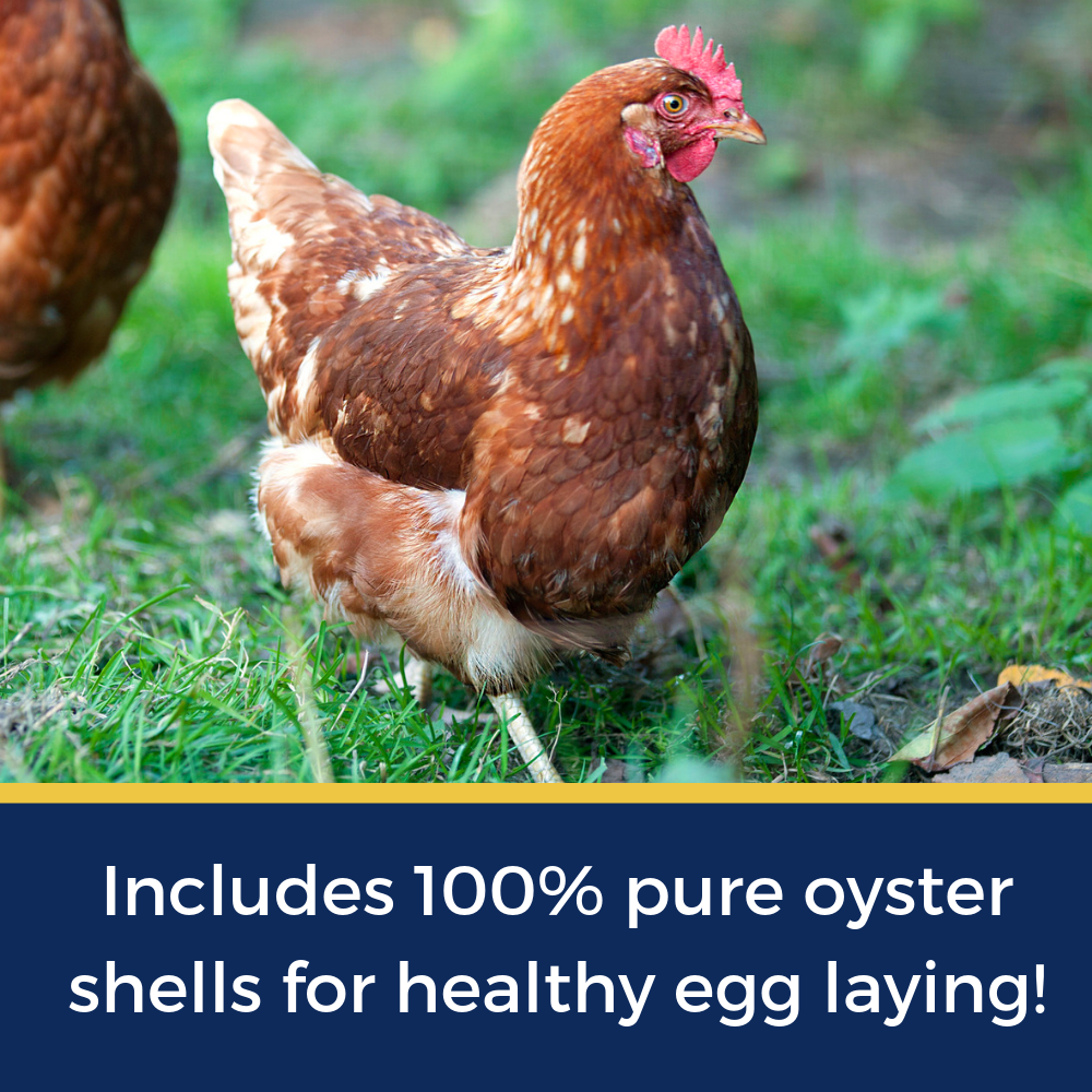 How Often Do Chickens Lay Eggs? Ultimate Guide To Laying