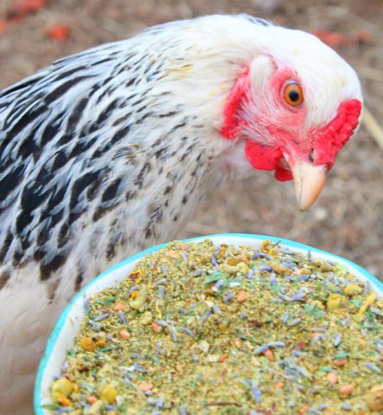 hen looking at Scent of Spring Nesting Herbs For Backyard Chickens