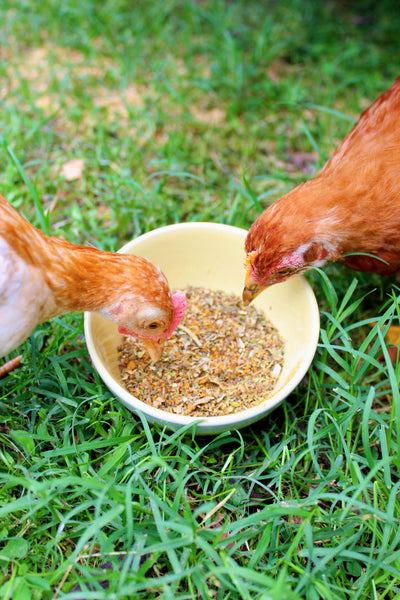 chickens eating Pampered Chicken Mama Breatheright Coop Herbs