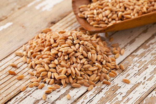 Non-GMO Wheat Seeds for Sprouting Fodder