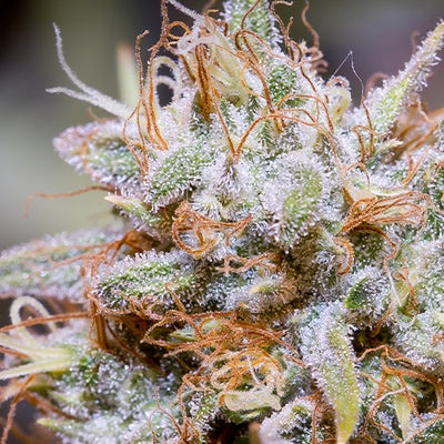 Image Featured Flower: White Widow