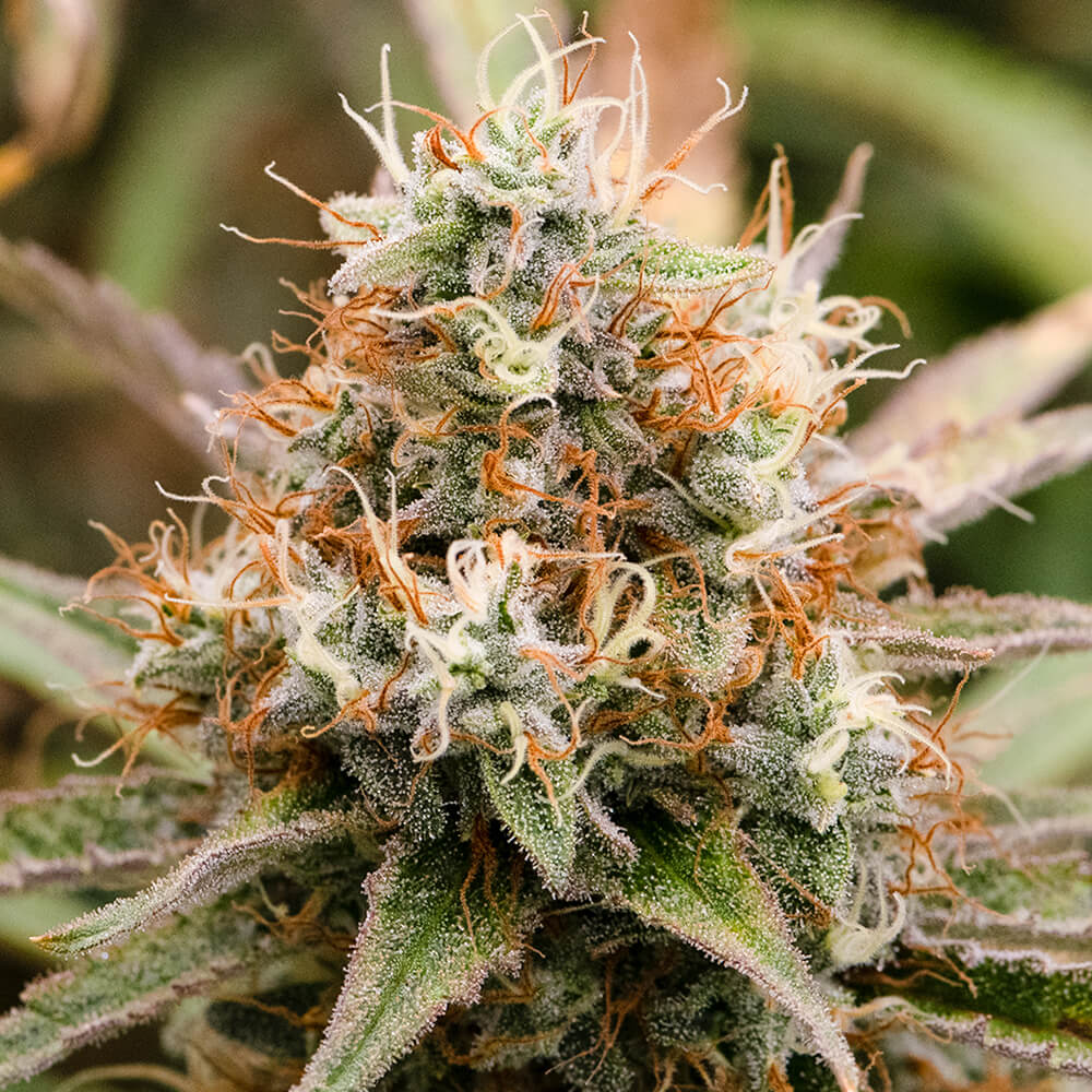 Featured Flower: Tangerine Dream
