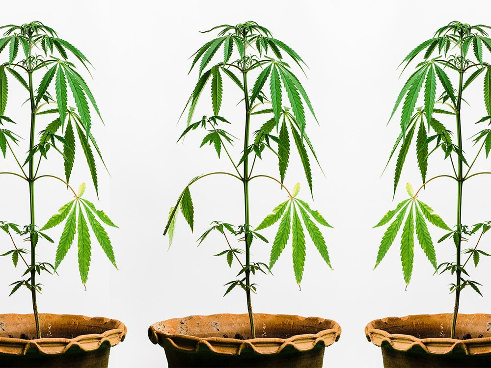 How To Grow Cannabis Indoors: A Beginner's Guide For ...