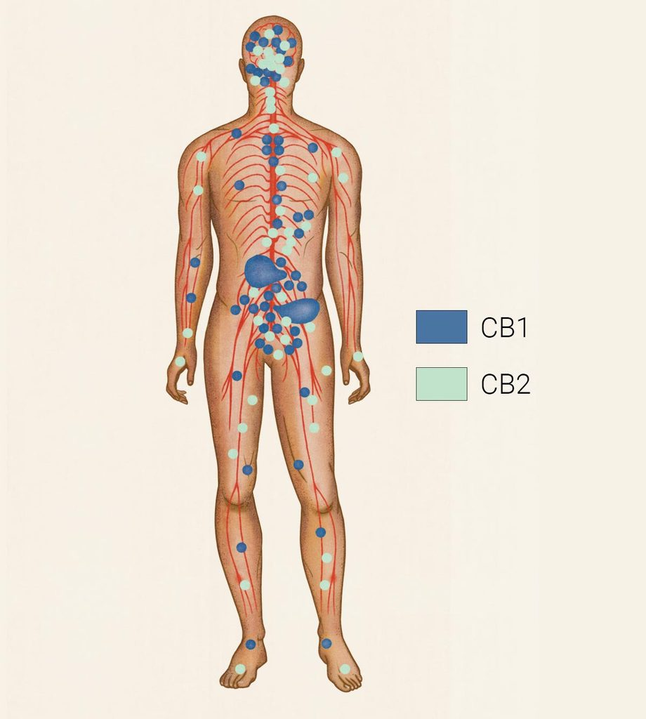 Image of the endocannabinoid system