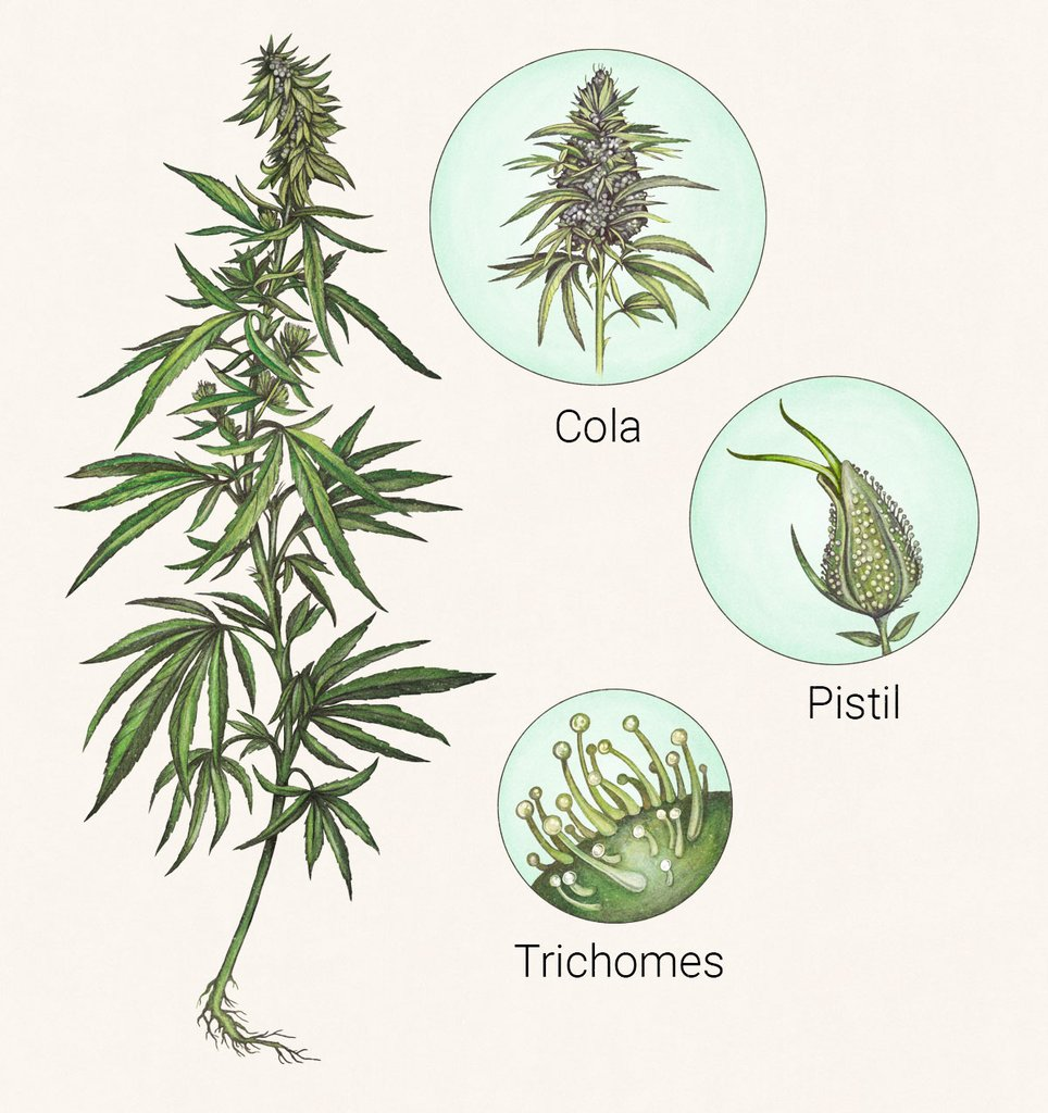 Image of the whole cannabis plant and close-up on pistil, cola and trichomes