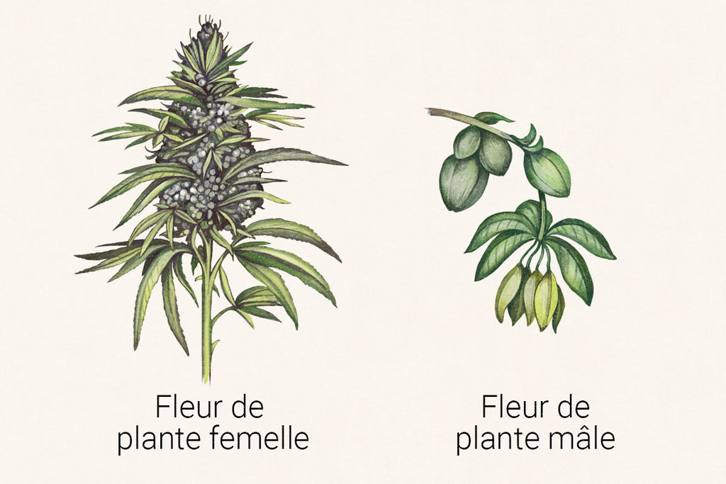 illustration of female and male cannabis floweres