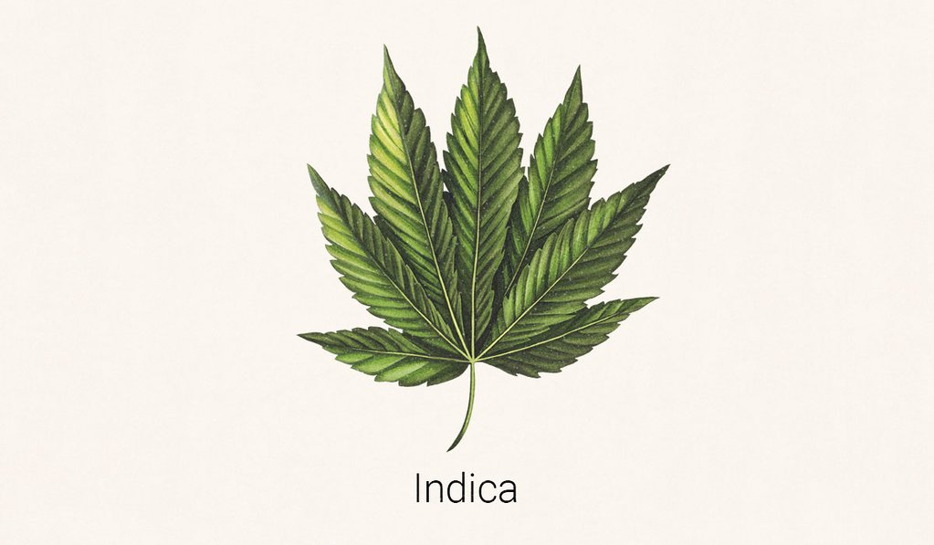 illustration of Cannabis Indica leaf