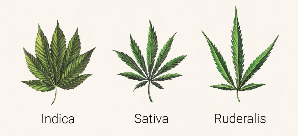 Image of the 3 types of cannabis leaves, indica, sativa and ruderalis.