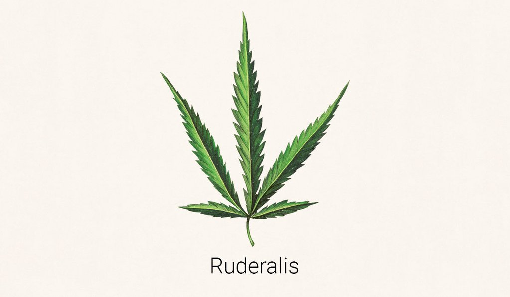 Illustration de feuille de Cannabis Ruderalis