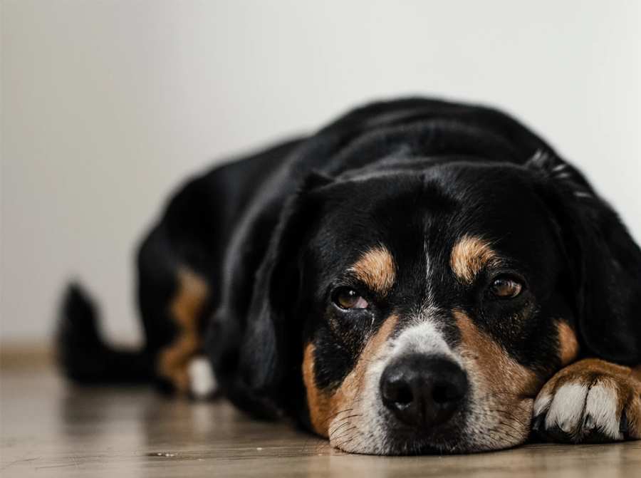 CBD Oil For Dogs With Cancer : How does it work?