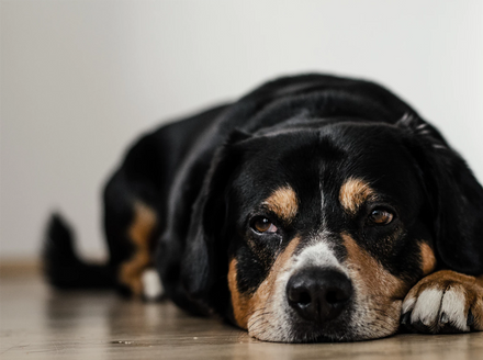 CBD oil for dogs with cancer helps by lessening the symptoms cancer in dogs causes. Learn about how CBD oil for dogs with cancer works and which product to buy.