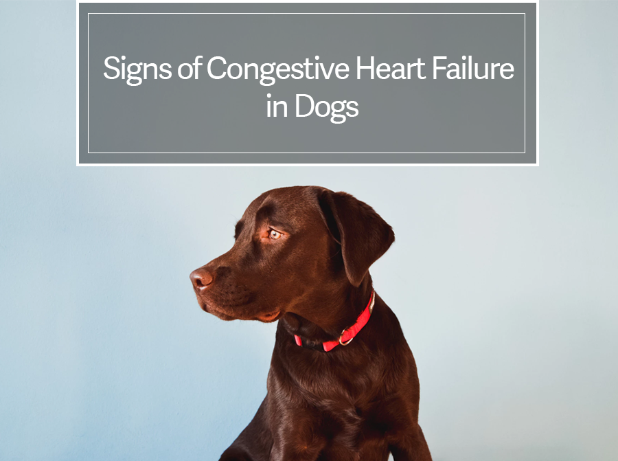 Signs of Congestive Heart Failure in Dogs