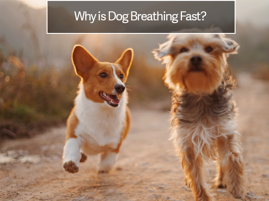 Dog Breathing Fast or Rapid Breathing in Dogs? | Heavy Panting