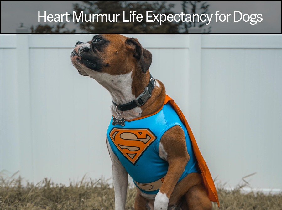 Heart Murmur in Dogs Grades, Life Expectancy and Dog Heart Failure