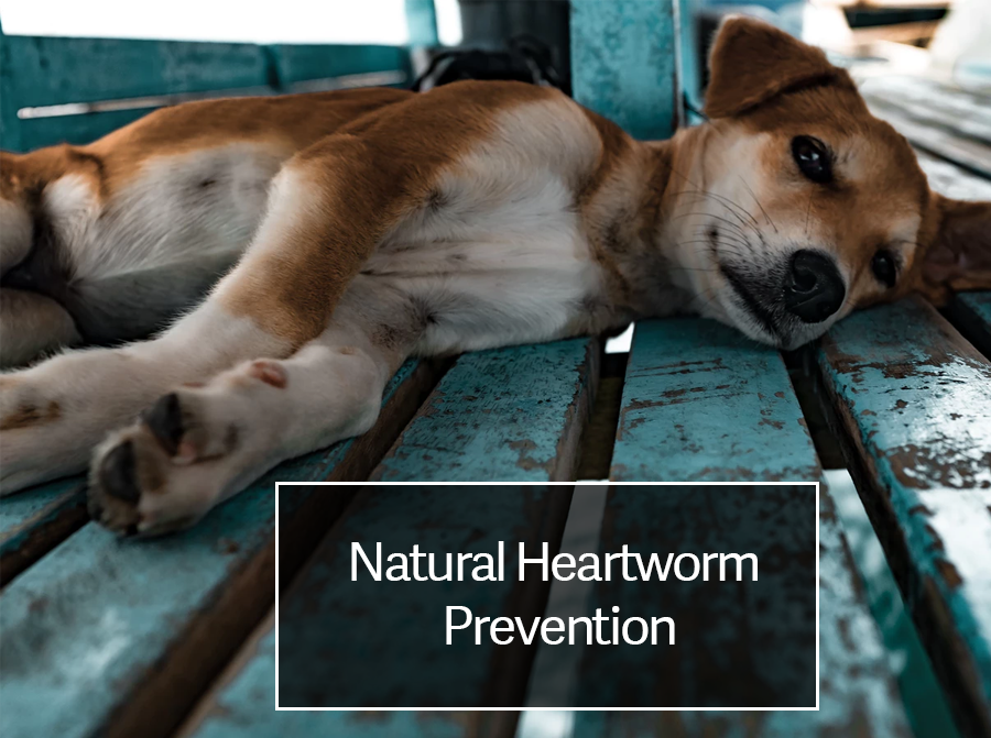 Natural Heartworm Prevention, Treatment and Best Heartworm Medicine for Dogs