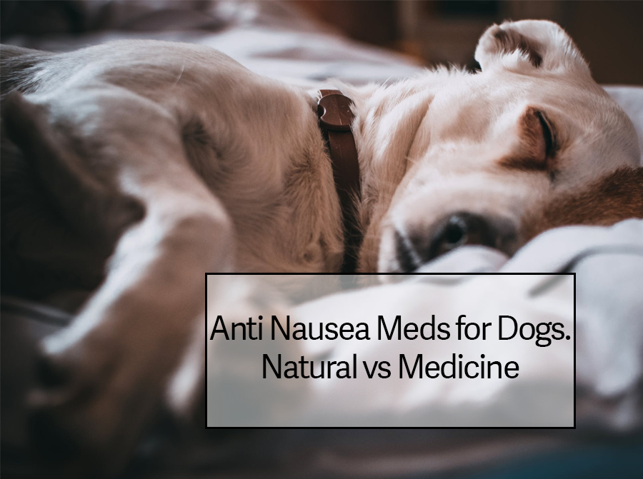 Anti Nausea Meds for Dogs VS Natural Remedies for Dogs