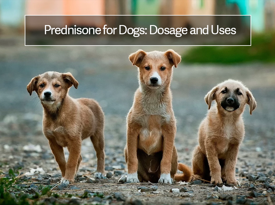 What is Prednisone Used For In Dogs: [Usage Guide]