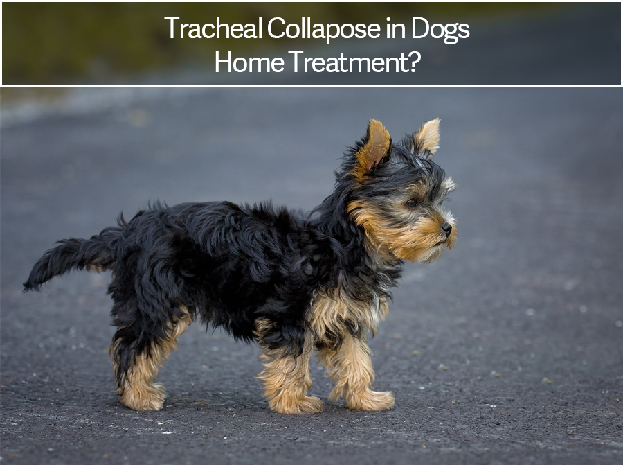 Dog Tracheal Collapse Home Treatment [Natural Treatment]