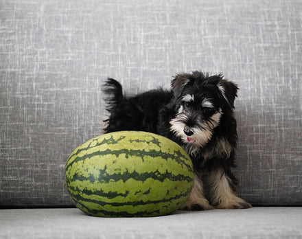 Can Dogs Eat Watermelon? Yes! Dogs Can Eat Watermelon