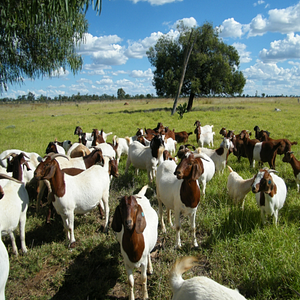 Natural Goat Supplement - The Sustainable Paddock
