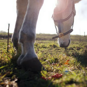 Equine HOOF Supplement - The Sustainable Paddock