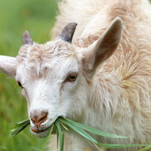 Goat Pro +  Natural Mineral Supplement - The Sustainable Paddock