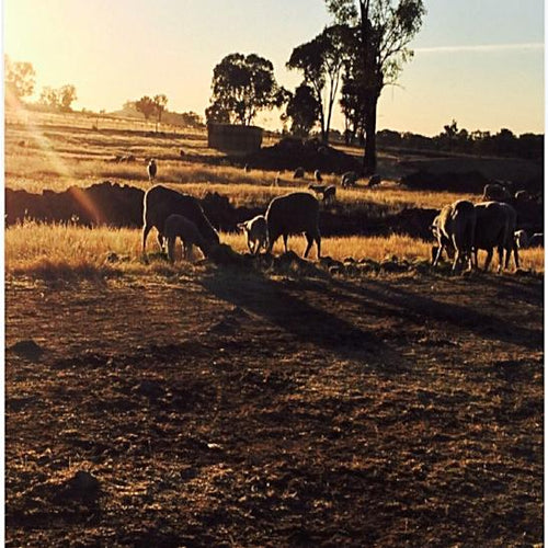 Lamb Mineral Supplement - The Sustainable Paddock
