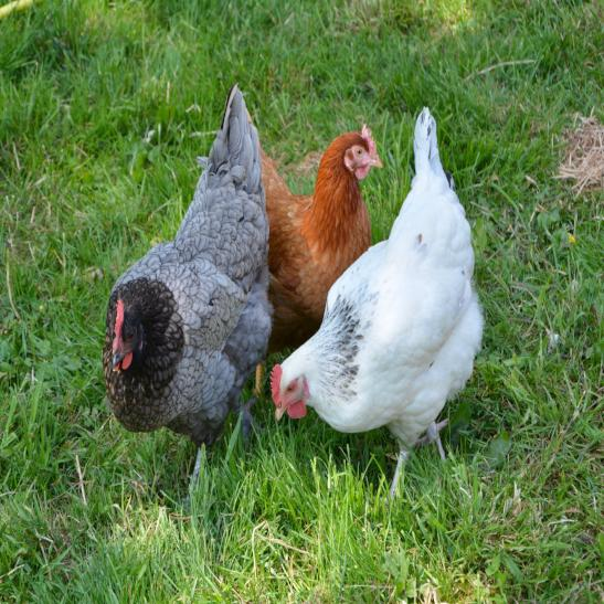Poultry Mineral Supplements - All Cluck - The Sustainable Paddock