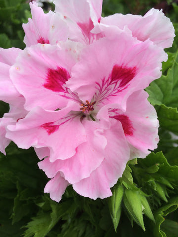 Regal / Martha Washington Pelargoniums