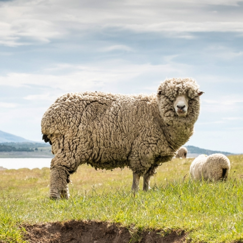 Sheep standing in a grassy field with a cloudy sky and hint of water in the background.