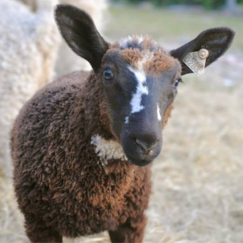 Young brown/black lamb with a white stripe on its nose facing the camera.