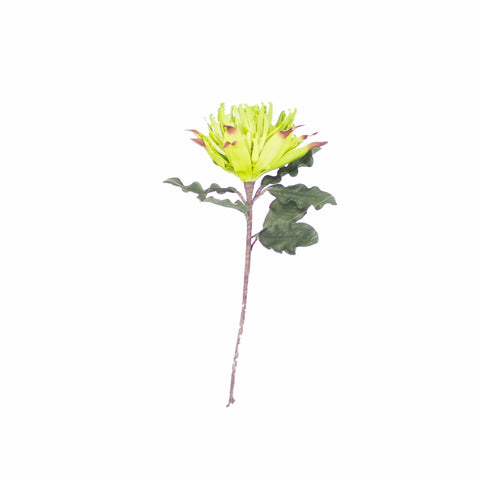 Ezra Plant with lime green petals and dark green leaves with brown stem botanical