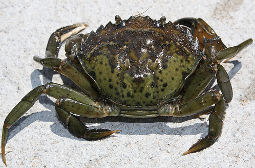 Live Green Crab Dozen