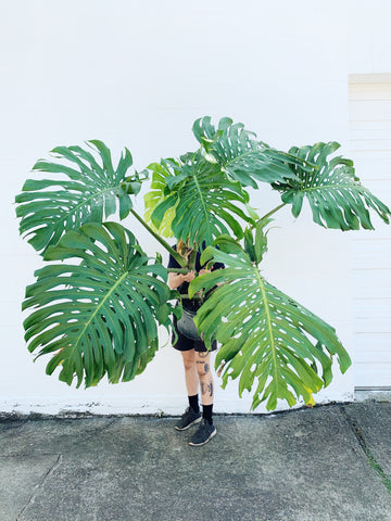 Monstera Deliciosa XXXXXL *TRUCK/VAN PICKUP ONLY*