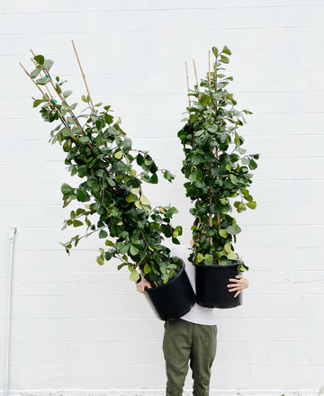 Ficus triangularis *LOCAL DELIVERY ONLY*
